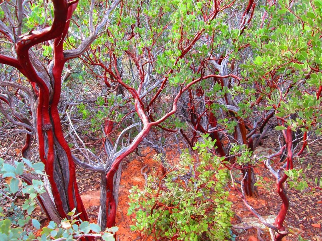 Beautiful Manzanita Trees Beautiful Places Best Places